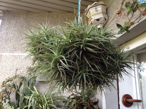 Ritual planta de la envidia terapias vigo Plantas limpiadoras de aire
